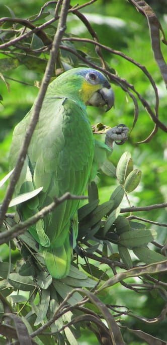 Birds in the trees in front of the balcony (Orange-winged parrot)