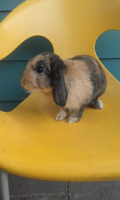 My mini lop Mocko is very friendly and will welcome any guest :)