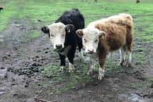 Nell and Nemo our minature Hereford Cattle