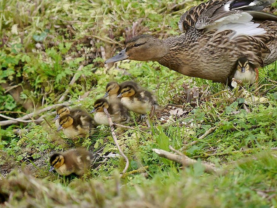 The ducklings of 2016 have just arrived.