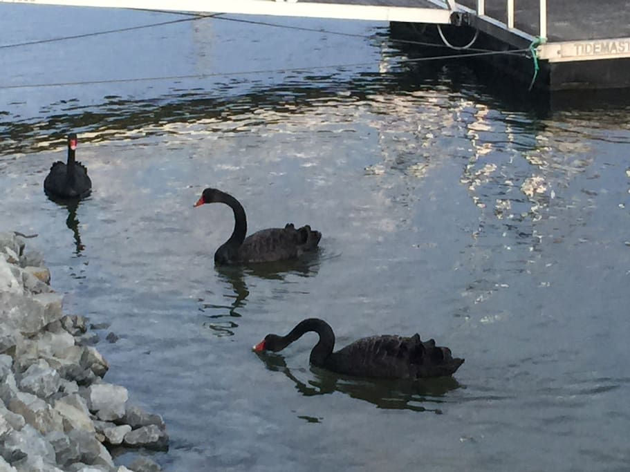 Black Swans seen here at times