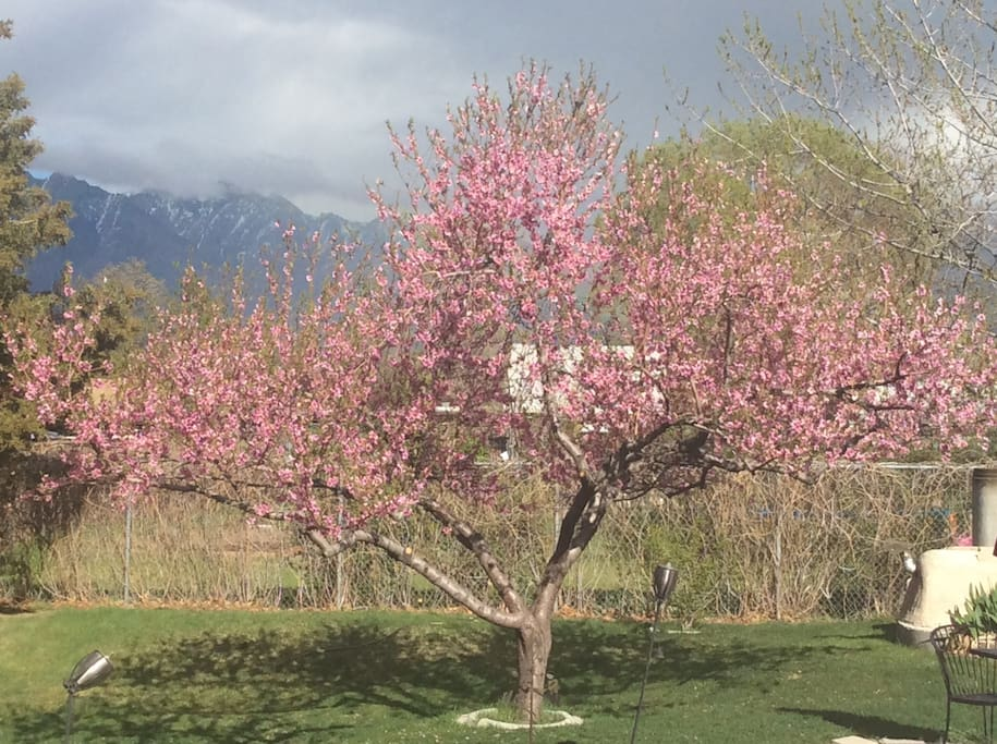 Peach tree in full bloom