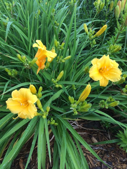 Day Lilies blossom in to quite an August occasion.