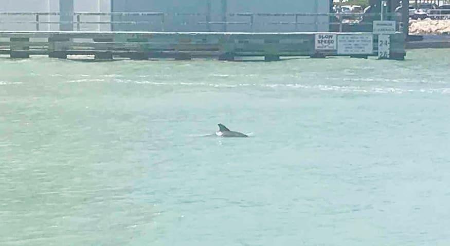 Dolphins at John's Pass