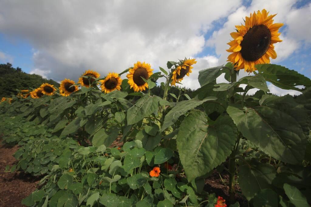 Sunflowers in Lower Gardens