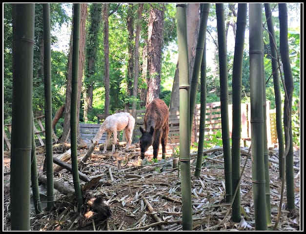 Alpacas frolicking in the bamboo right off the treehouse deck.