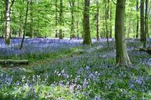 Gloucestershire bluebells in the Spring