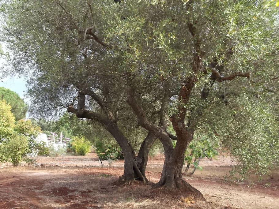 Les oliviers frères jumeaux