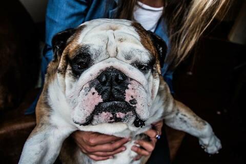 Hero- the friendliest little Buddha bulldog