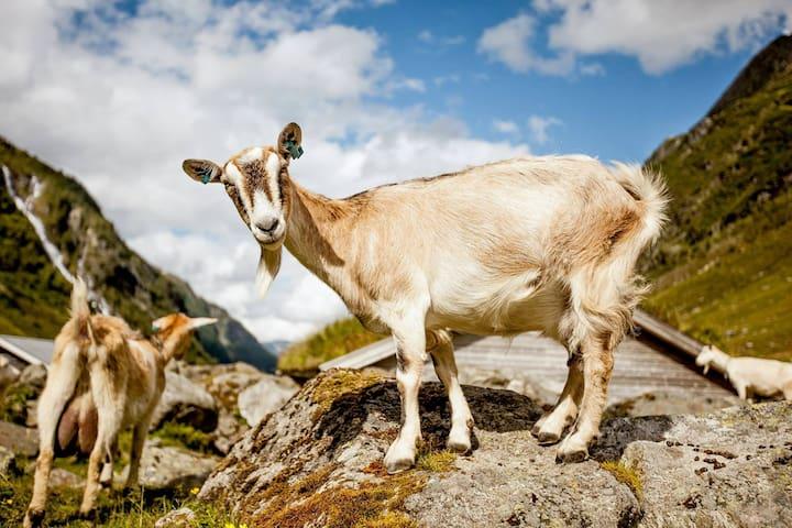 Goat oustide the cabin