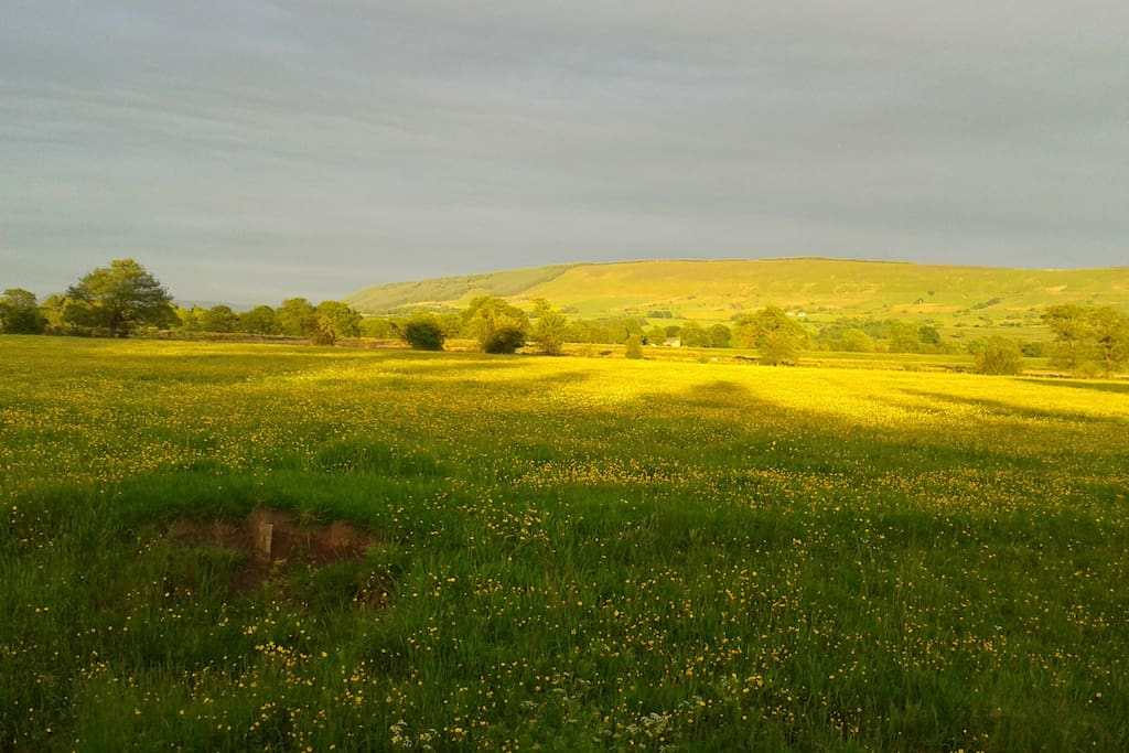 Fields of buttercups