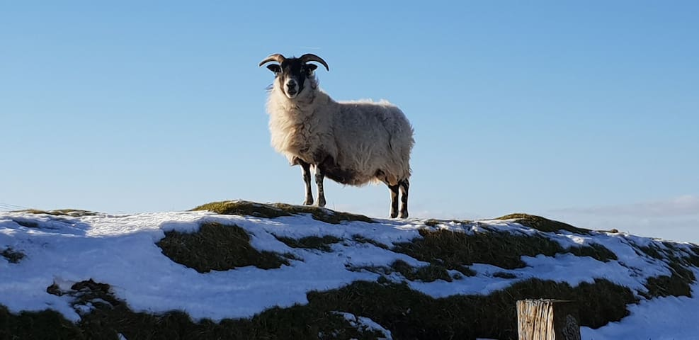 A Brocky Ewe enjoying the Winter sunshine as the snow starts to melt!