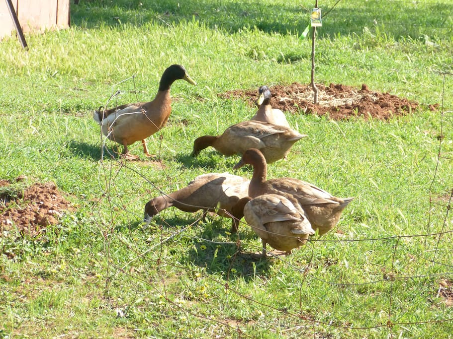Khaki Campbell ducks on the farm