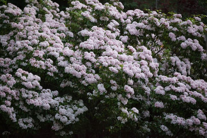 Mountain Laurel blooms in the spring.
