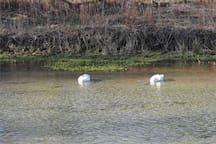 Snoozing Swans on The Lathkill River