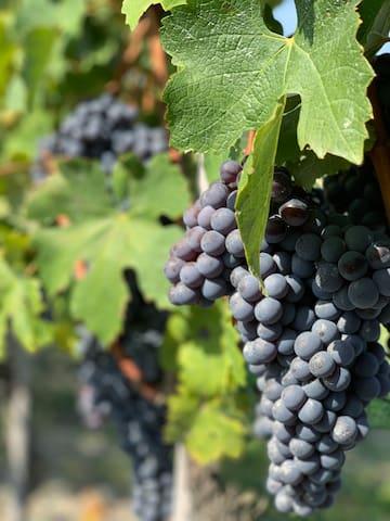 The Nebbiolo grape