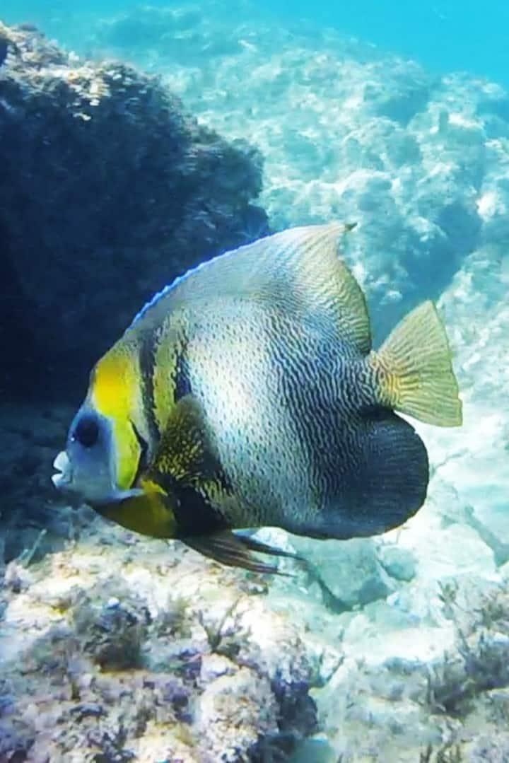 Cortez angelfish, Pomacanthus zonipectus
