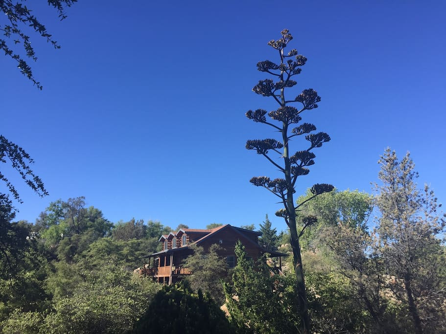 South View, with a Century plant in full bloom, June 2017