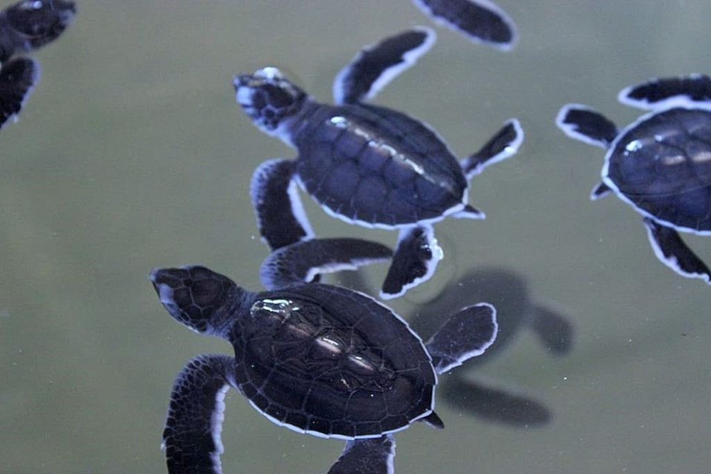 Bentota Turtle Hatchery