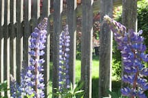 Lupine by the driveway