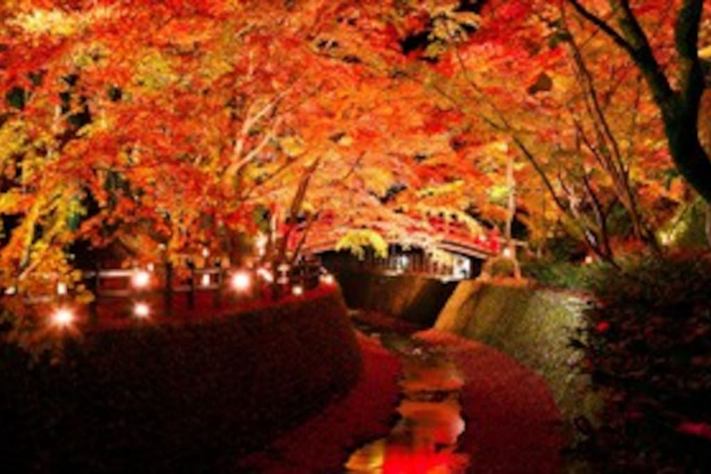 Approximately 350 maples, including old trees 350 to 400 years old, are colored red and yellow, and they show us a splendid view. During the period, night light up will be carried out.