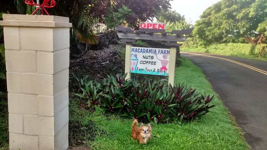 Macadamia~Coffee Farm with all it's NUTS in place
