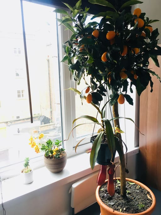 You'll be sharing the flat with a carnivorous plant, a kumquat tree (help yourself. but be reasonable) and two other boring freeloader plants that barely do anything other than drink water.