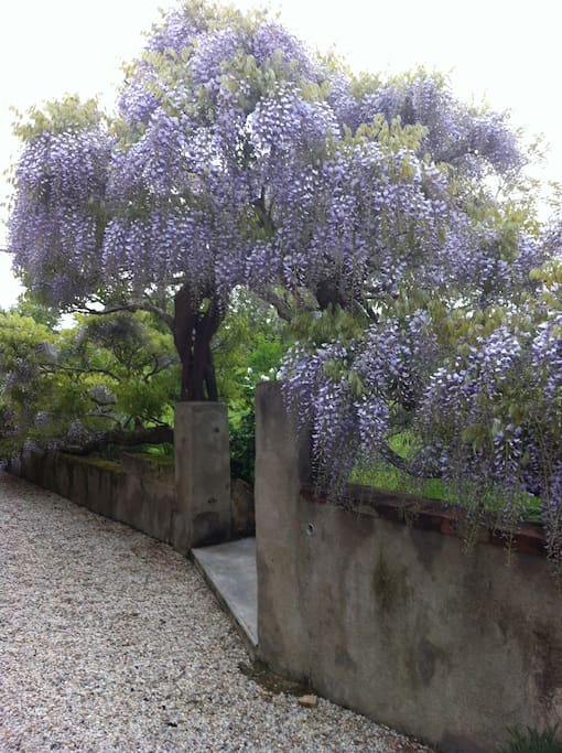 The lovely wisteria our home is named after.