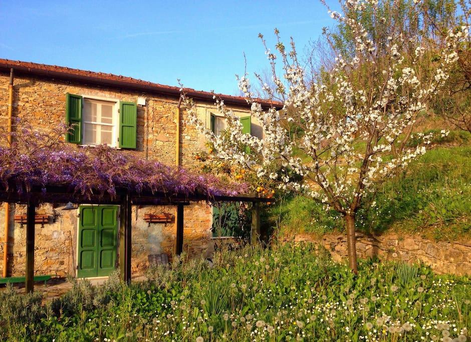 Davanti casa.. Glicine e ciliegio in fiore