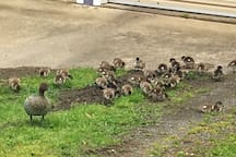 Regular visits from the local families of ducks and other wildlife