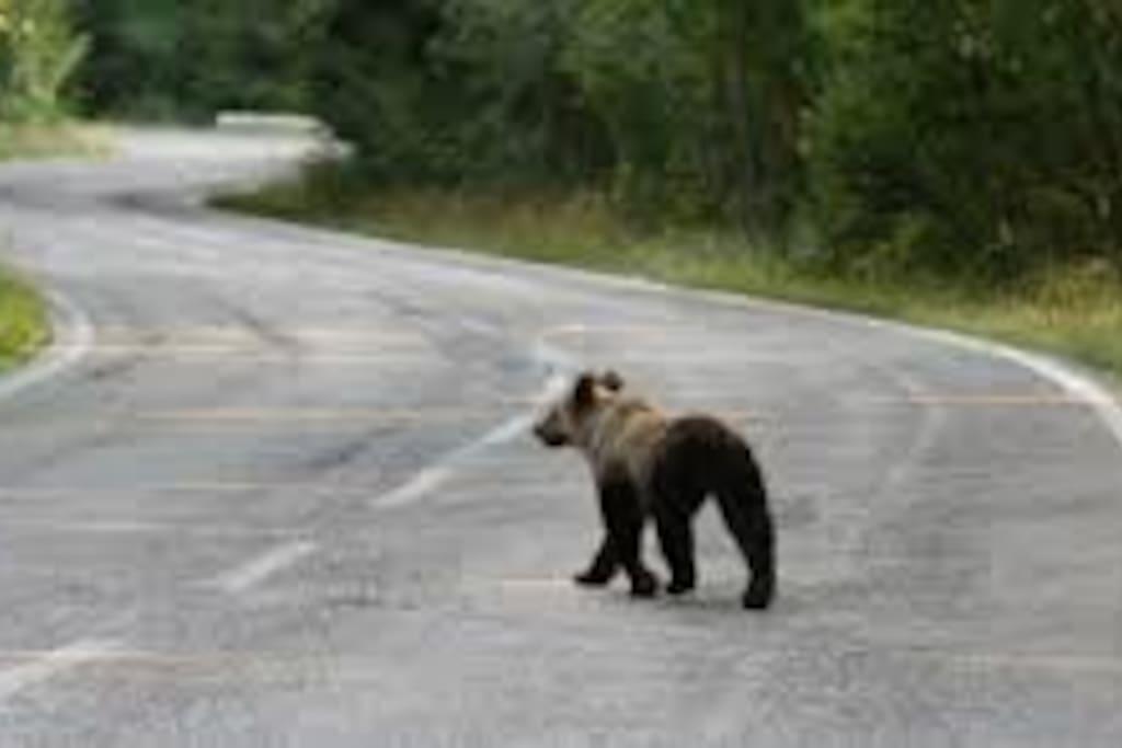 A Bear walking...