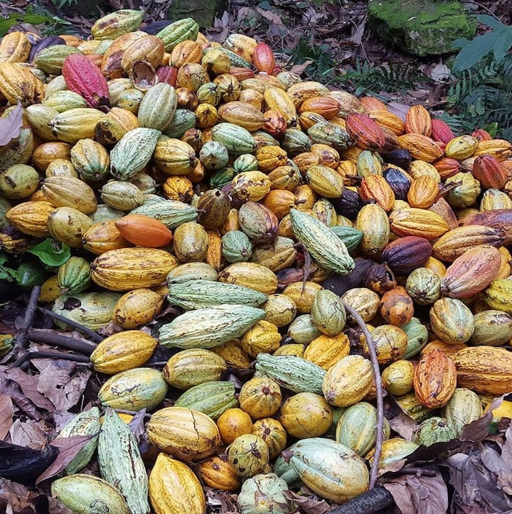Colorful cacao harvest