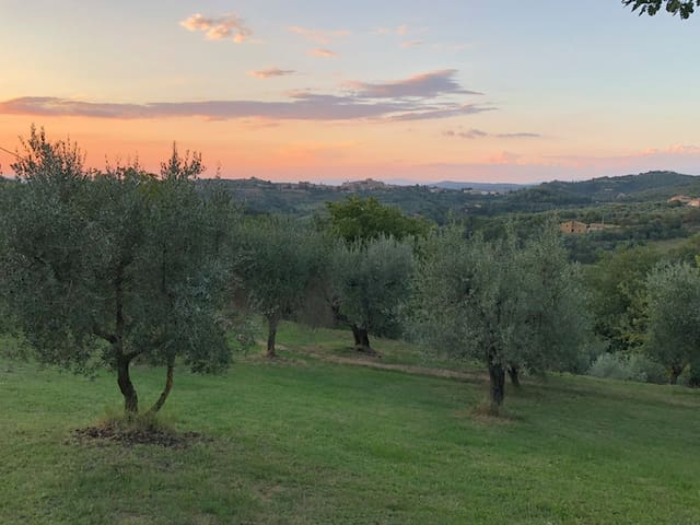 The olive grove at sunset