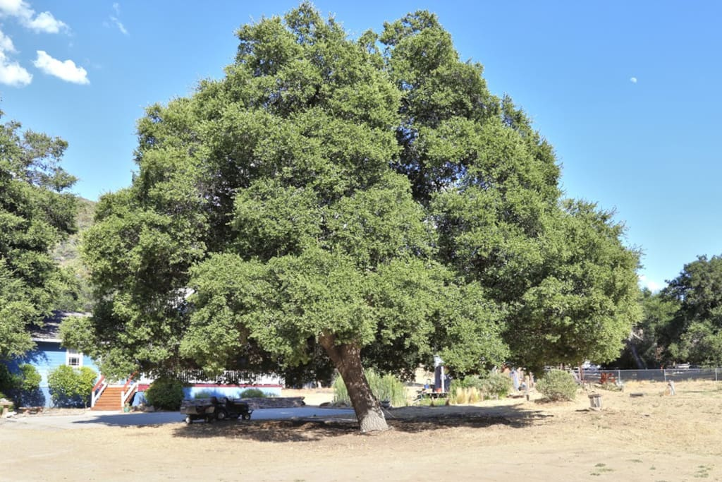 This beautiful Oak tree in the front yard is great to sit under and enjoy a relaxing BBQ.