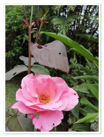 Entre las flores del JARDIN NATIVO están las rosas de color rosado, rojo y amarillo.