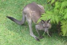 Kangaroo in garden below deck