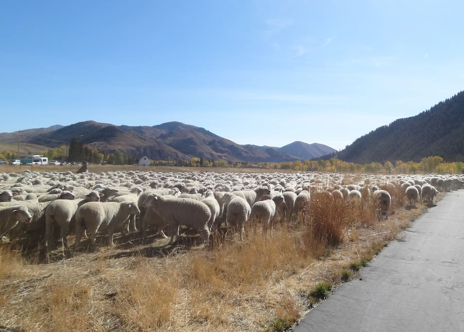 Trailing of the Sheep Festival in October