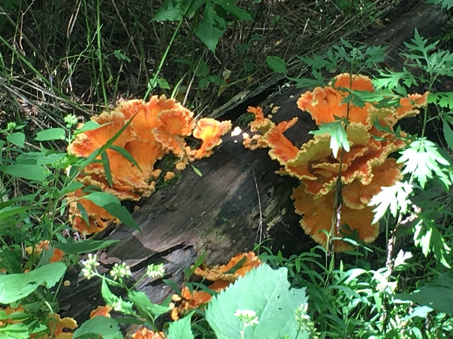 As you walk trails, colorful wild flowers, this wood fungus growth, and cute squirrels, rabbits, chipmunks, fawns abound.