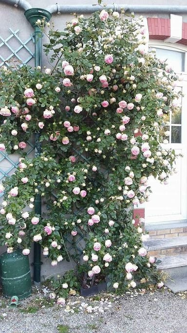 Notre beau rosier à l'entrée de la maison