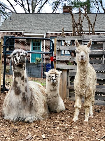 Our new babies!  Mama Figgy with her son Opie. And her reluctantly adopted daughter alpaca Elfie Fay Von Picklesprite. Come hang with our herd of five alpacas and two very different llamas. All rescues.