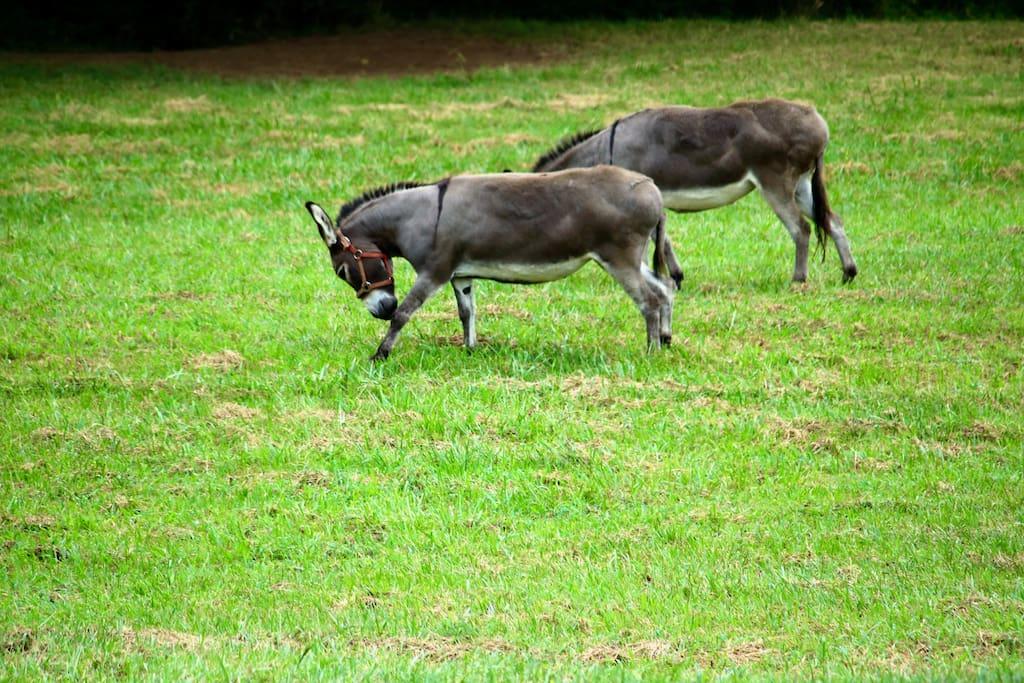 50 Acres and Miniature Donkeys