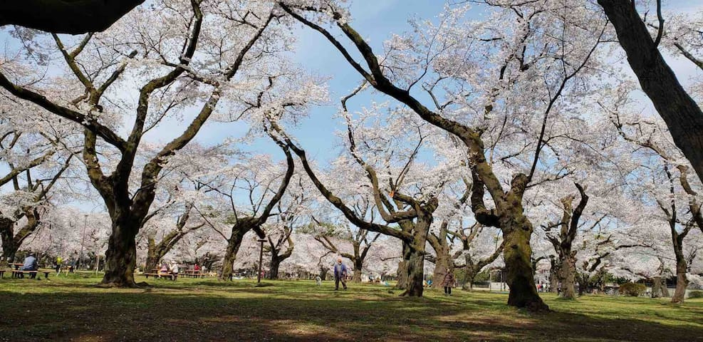 小金井公園の桜 3月下旬〜4月初旬 Cherry blossoms in Koganei Park Late March to early April