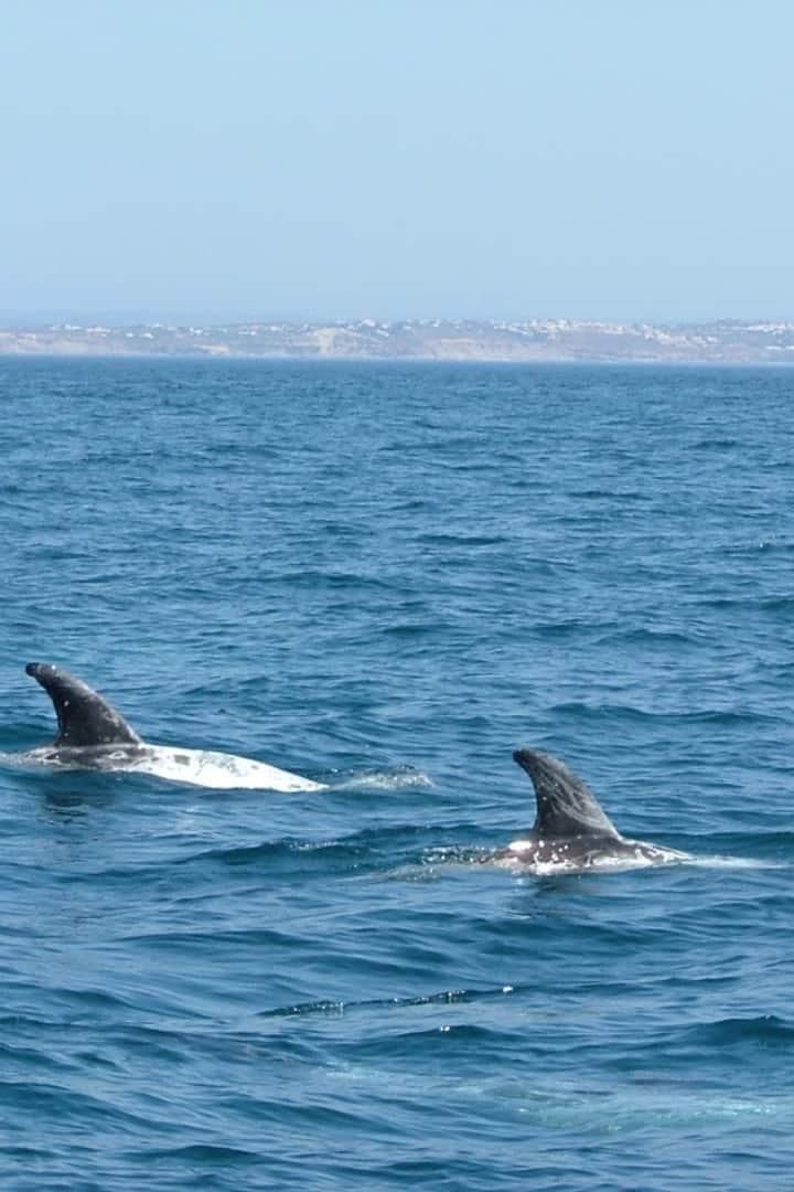 Grampus griseus Risso's dolphin