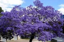 Jacarandas in full bloom in Morningside
