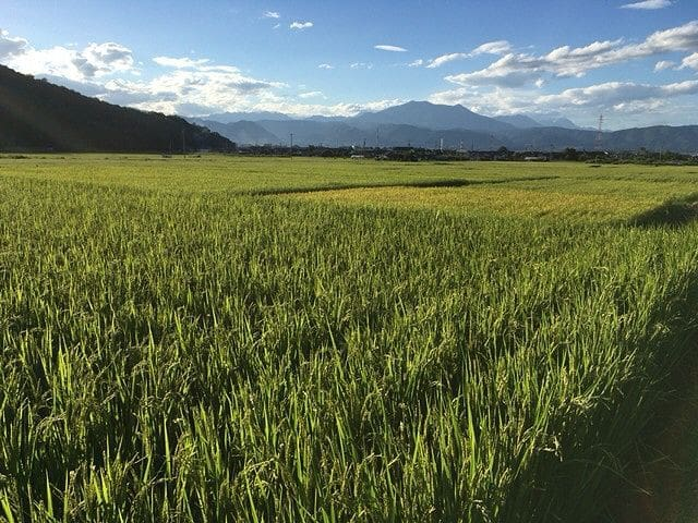 Rice fields managed by the hotel 宿が管理する稲田です。宿からちょっと離れてますが田植えに稲刈りなど体験できます。