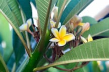 Plumeria Trees--by front porch have grown-sprouting beautiful fragrant flowers.