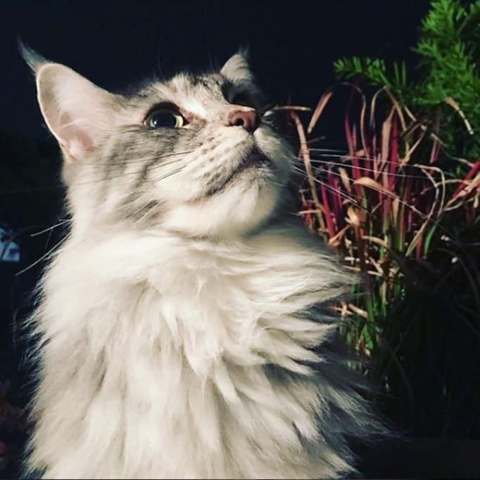 Lumi - our Maine Coon cutie will be with you, especially when it looks like you're carrying some awesome food (doesn't even have to be that awesome...).
