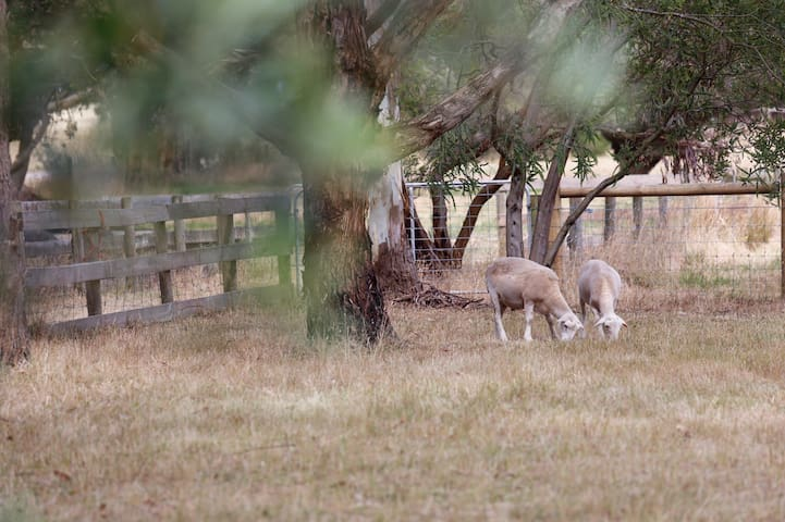 A couple of our resident sheep