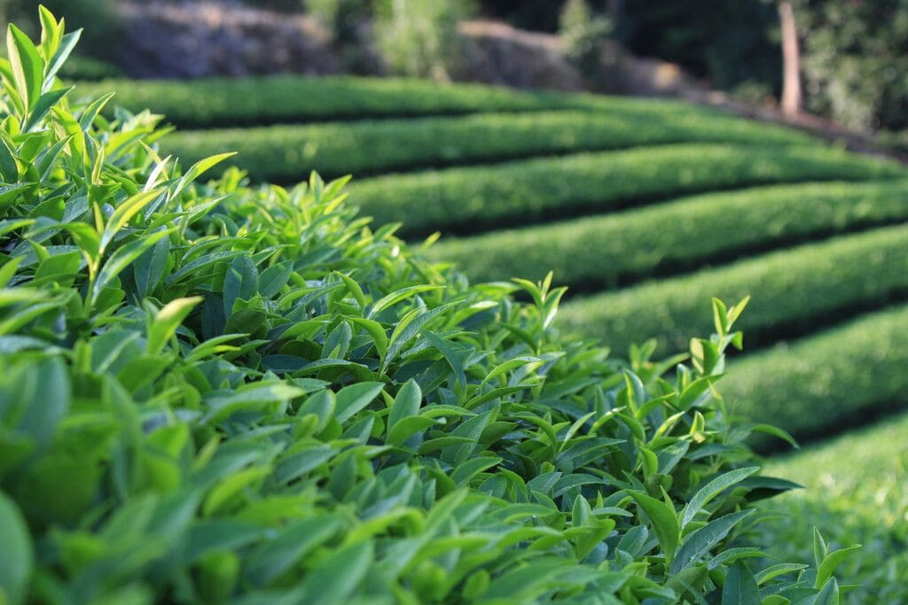Close up view of tea fields near our place.