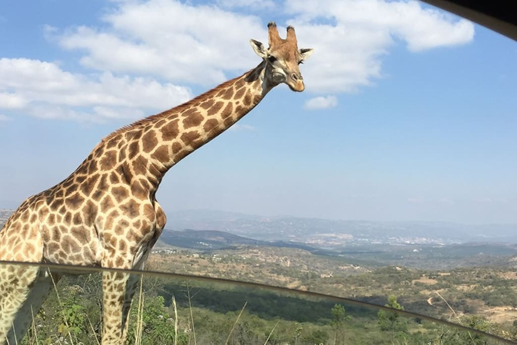 THE GIRAFFE LIKE TO GREET YOU ON YOUR WAY IN